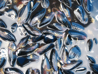 a lot of black mussels are in the water