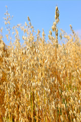 stalks of oats
