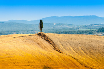 lonely cypress on a hill near Asciano in Crete Senesi, Tuscany