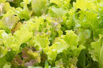 Fresh Green lettuce leaves in garden