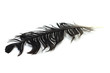 black crow feather on a white background