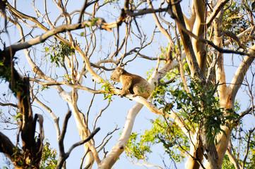 Koala climbing a eucalyptus tree, Victoria (Australia)
