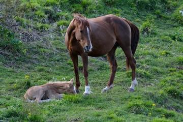 Cavalla con cavallino