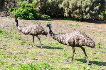 Australian emus at Tower Hill wildlife reserve (Australia)