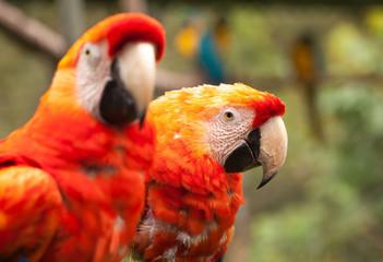 maccaw parrots couple