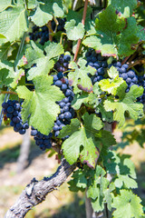 grapes with green leaves on the vine. fresh fruits