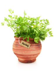 Fresh parsley plant in a clay pot