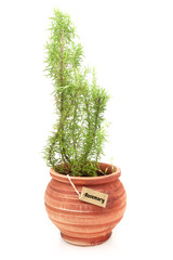 Fresh rosemary plant in a clay pot
