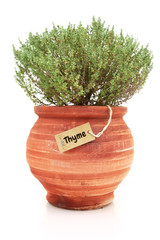Fresh thyme plant in a clay pot