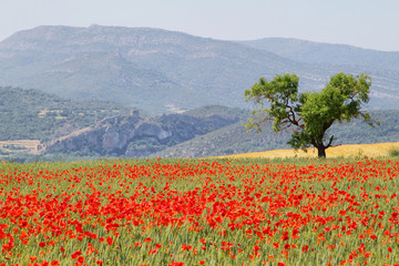 Fields of poppies with and almond tree