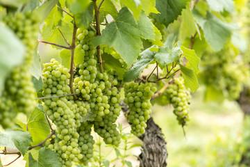 Chardonnay - Francia, Borgogna