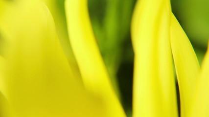 Blooming summer flower macro - slow motion ( 60 fps )