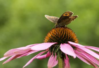 Gatekeeper butterfly spreading wings on pink cone-flower