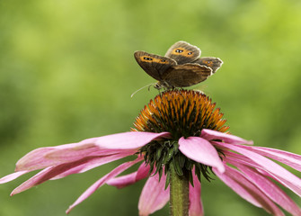 Gatekeeper butterfly on top of a cone-flower
