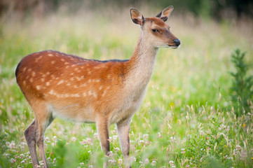 cute young deer during summer