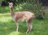 Young guanaco
