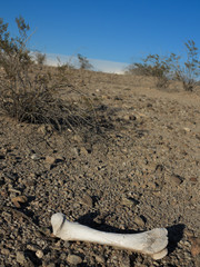 Desert Animal Bone