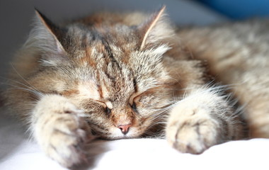 sweet dreams for a tender cat, brown version of siberian breed