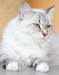 candid cat of siberian breed, female