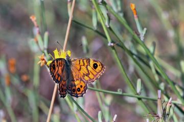 Mariposa con alas abiertas, Sauceda, Hurdes, España