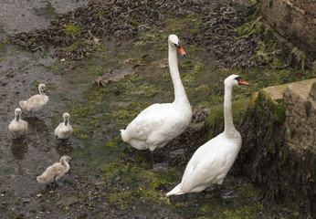 Swans and cygnets at Falmouth harbour, Cornwall