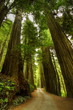 Redwood Forest Road - 68588217