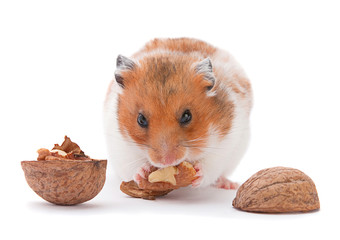 Browh hamster eating walnut