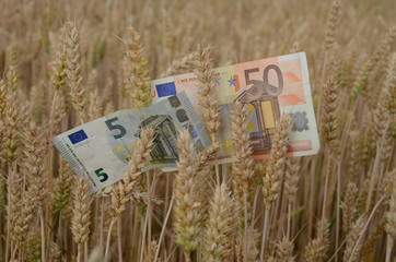 euro banknotes money on ripe wheat ears in field