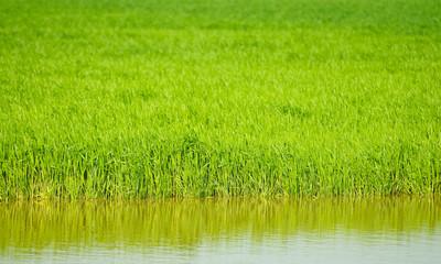 Überschwemmung im Getreidefeld