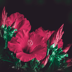 Bunch of red hibiscus flower background