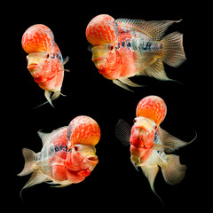 Flowerhorn Cichlid fish set isolated