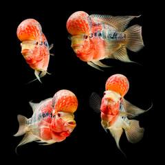 Flowerhorn Cichlid fish set isolated