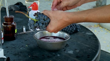 Agronomist squeezes out juice from grapes by hands forl analysis