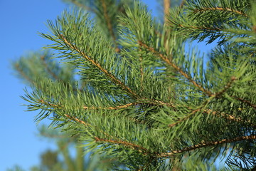 Pine branch on blue sky background