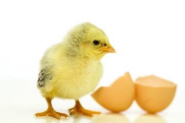 Frisch geschlüpftes Hühnerküken mit Eierschalen