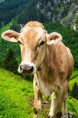 Brown Austrias cow on mountain pasture in Austria, Alps