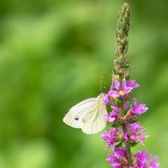 butterfly (50)