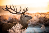 Fototapety Red deer
