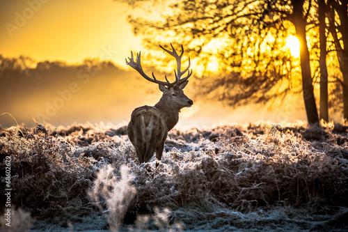 Red deer - 68602679