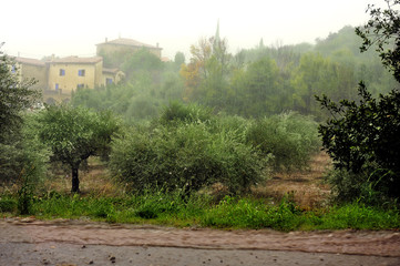 Rain on an olive grove
