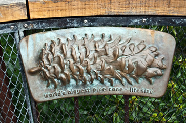 World's biggest pine cone