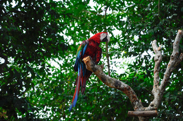 Parrot or psittacines
