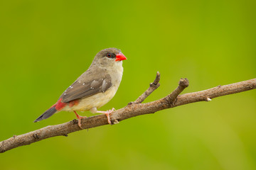 Single female of Red Avadavat on the branch