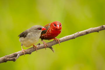 Sweet couple Red Avadavat on the branch