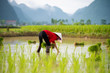 Rice transplanting in Vietnam - 68605220