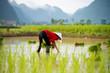 Rice transplanting in Vietnam - 68605220