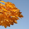 canvas print picture - Herbstlaub vor blauem Himmel