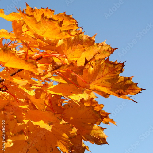 canvas print picture Herbstlaub vor blauem Himmel