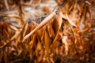 Dried Mango Leaf