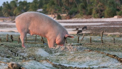 Pig rooting in sand on beach at low tide